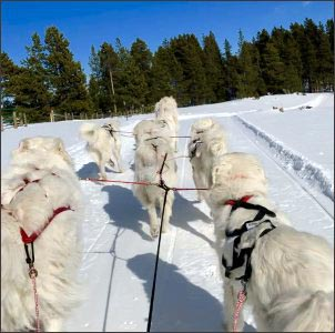 homesteading-with-dogs, livestock-guardian-dog-sled-team
