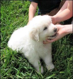 Maremma Sheepdog puppies, Fiber Fairs, selling fiber products, where to sell handmade yarn, Fiber festivals, Selling animal fibers