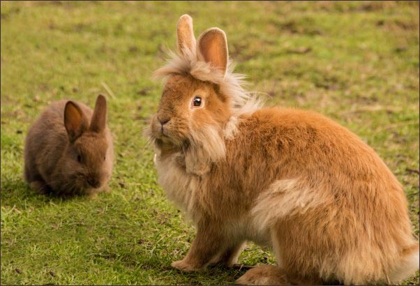 rabbit farming, rabbit farming on a small scale, raising rabbits, meat rabbit breeds, fiber rabbits, homesteading, homestead