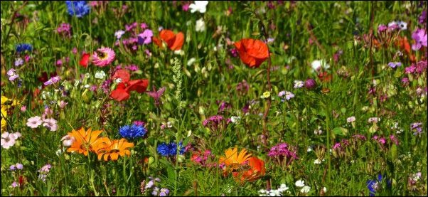 Benefits of Wildflower Lawns, homesteading, wildflower field