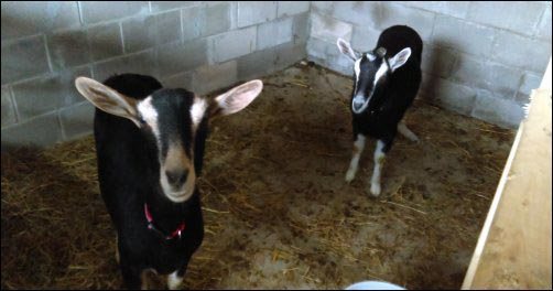 goats, Pros and Cons of Homesteading, Dealing with Loss on the Homestead