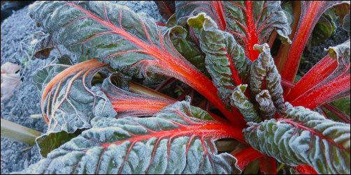frosty swiss chard, clean up the garden for winter, Winter Garden Care, fall garden, fall and winter garden, homesteading