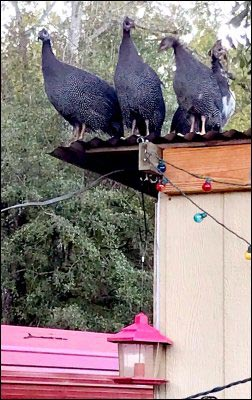 guinea fowl on rooftop