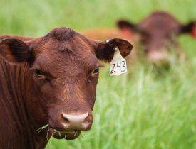 Modern-Day Devons: Heritage Devon Cattle Making a Comeback