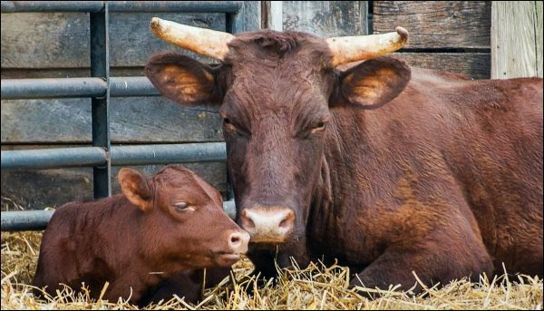 Heritage red Devon cow and calf