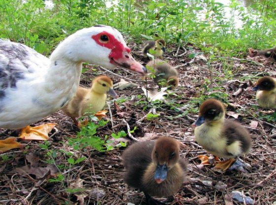 How to know your Muscovy is Broody, Broody Duck Behaviors, What To Do When Muscovy Eggs Hatch, Hatching Muscovy Eggs Naturally, Naturally Rearing Muscovy Ducklings, Muscovy, Broody Duck, Broody Muscovy, Natural Rearing muscovy eggs, Ducklings and homesteading