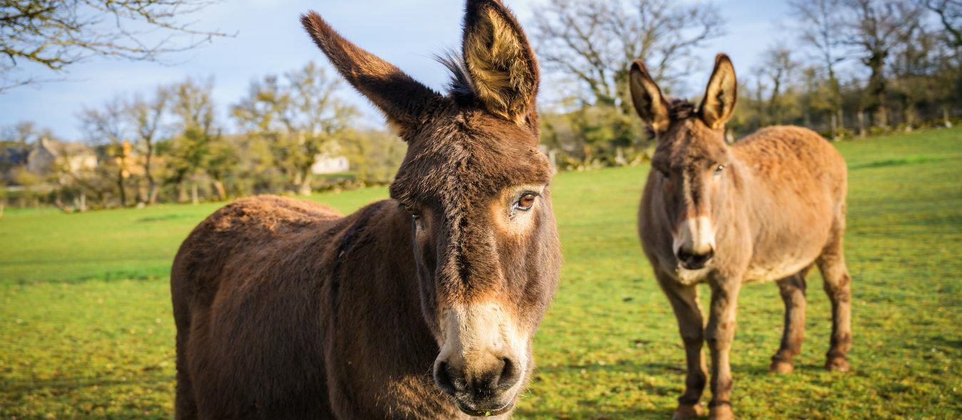 donkeys homesteading