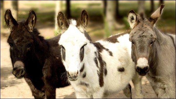 Donkeys come in many sizes and colors