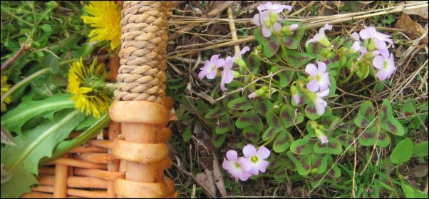 violet wood sorrel, Foraging, Spring Foraging, Wild Greens, Wildcrafted Tea, Wild Bergamot, Dandelion, Plantain, Chickweed, Sassafrass, Blackberry, Wild Strawberry, Curly Dock, Wild Greens Recipe, Using Foraged food, Foraging for Tea