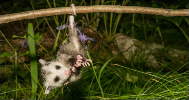 baby opossum hanging from it's tail from a branch