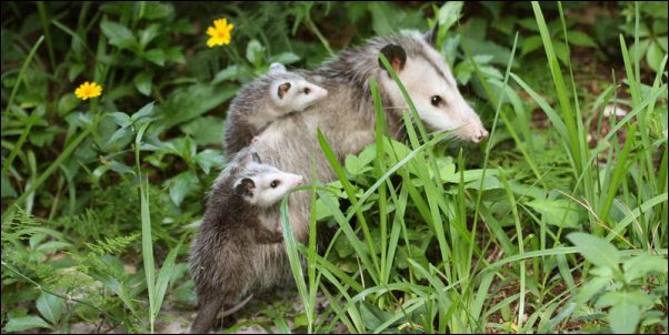 mother-possum-and-babies