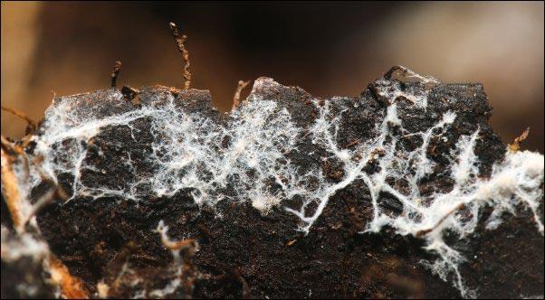 soil mycorrhizae