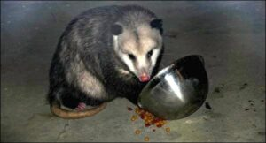 opossum eating cat food at night