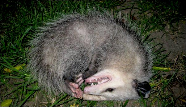 opossum playing possum feigning death