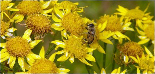 arnica flower with honeybee, salve making ingredients, herbal-salve-making, herbal salve recipes, how to make herbal salves