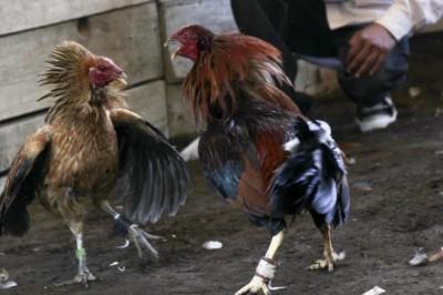Exhortan a Congreso anular reformas que permiten peleas de gallos y vaquilladas