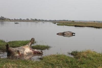 Mueren 100 hipopótamos en el parque nacional de Namibia