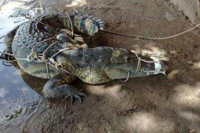 Capturan a cocodrilo que fue arrastrado por las lluvias