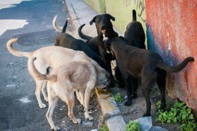 Prepara croqueta anticonceptiva para perros de la calle