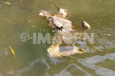 Cadáver en descomposición flotando en el río Jamapa