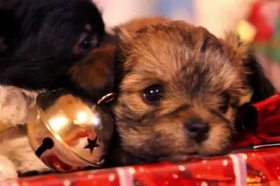 Cachorros regalados en estas fiestas podrían ser abandonados en 6 meses