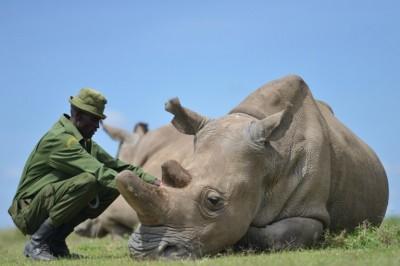 El último rinoceronte blanco del norte está al borde de la muerte