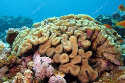 Reubican 48 mil colonias de corales pétreos al arrecife El Rincón