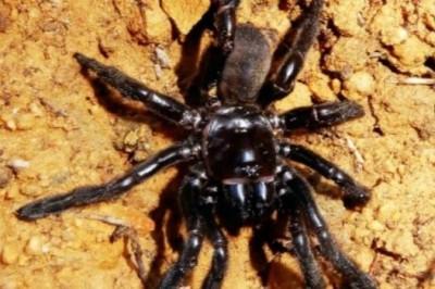 Muere araña más longeva del mundo a los 43 años de edad