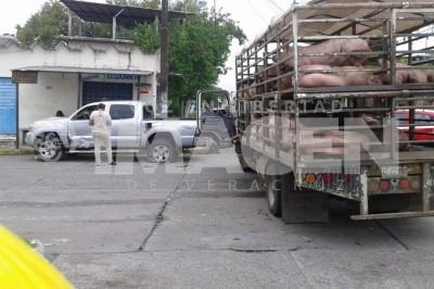 Camioneta con cerdos se impacta contra una camioneta