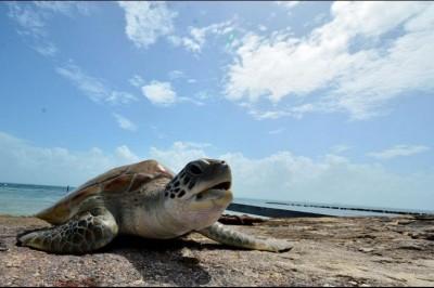 Población de tortugas marinas, en riesgo por cambio climático