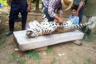 Presumen en redes cacería de jaguar en el sur de Veracruz
