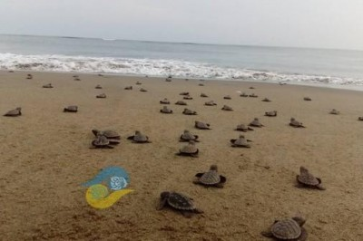 Pocas tortugas han llegado al Golfo de México