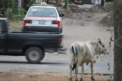 Vaca loca asustó a todos en Tierra Blanca