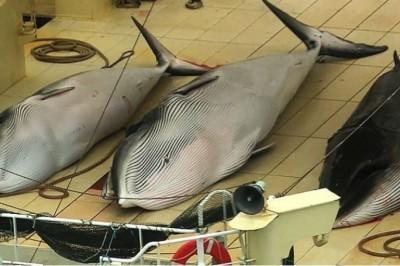 Japón retomará la caza comercial de ballenas en 2019