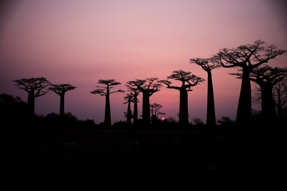 Baobab-trees-Madagascar