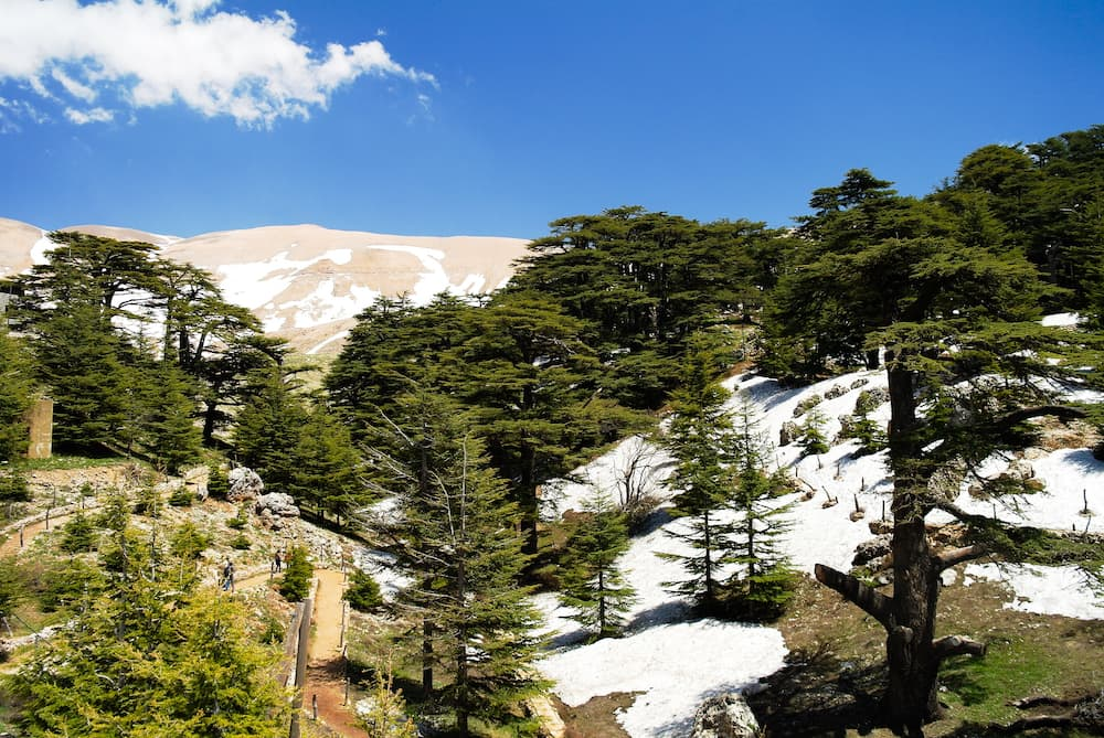 Cedars-of-God--Lebanon