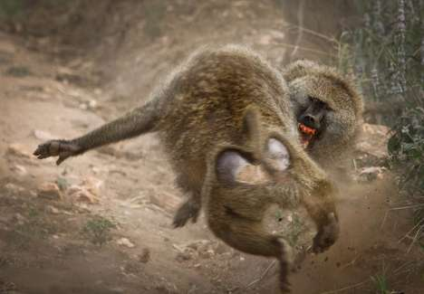 Battling Baboon Shots