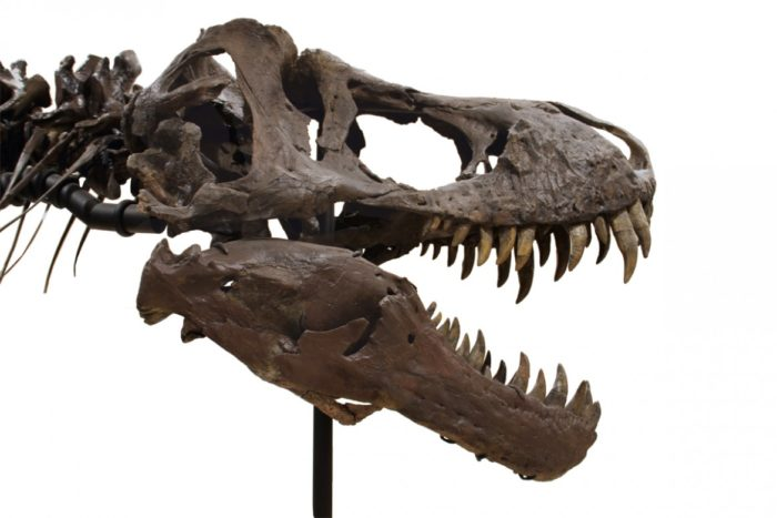 Your Own T-Rex Skeleton For A Few Million Dollars 2