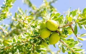 Morroccans use every part of the Argan plant, from the seeds down to the roots.