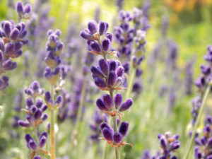 Lavender oil is high in antioxidants and vitamins