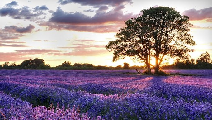lavender fields featured
