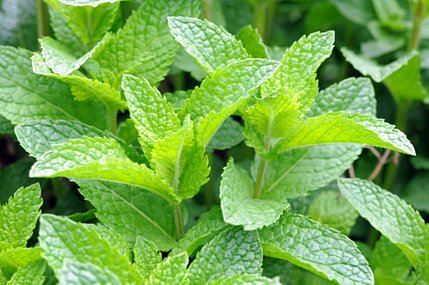 Peppermint naturally helps preserve the skin's elastic and collagen