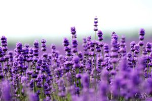 Lavender makes a wonderful essential oil
