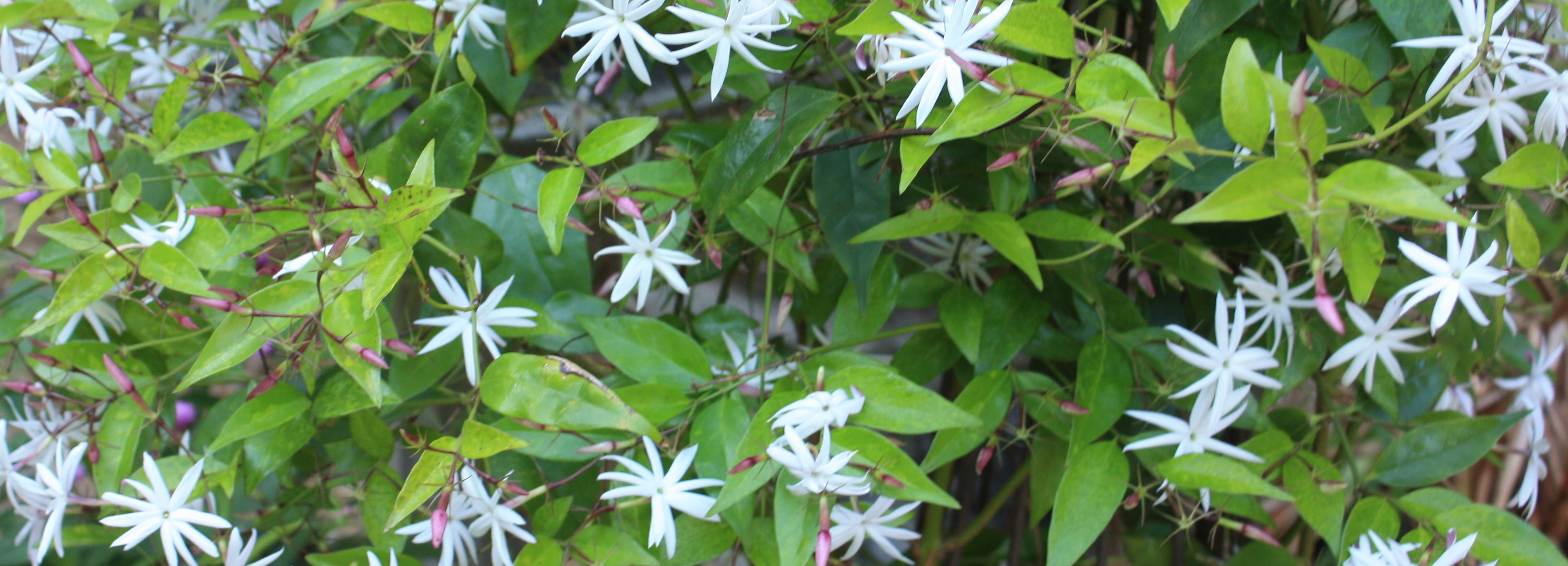 Jasmine essential oil health benefits get jazzed izmirmasajfo