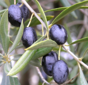 Kalamata olives on the vine