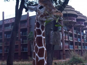Up close and personal with a giraffe at Kidani Village.
