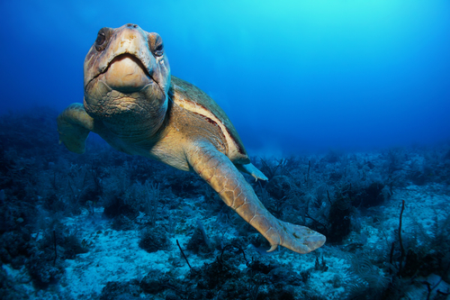 Loggerhead Turtle in Akumal