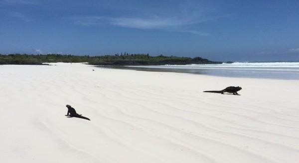 galapagos-marine-iguanas