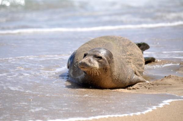 Orbitz-Kauai-sea lion