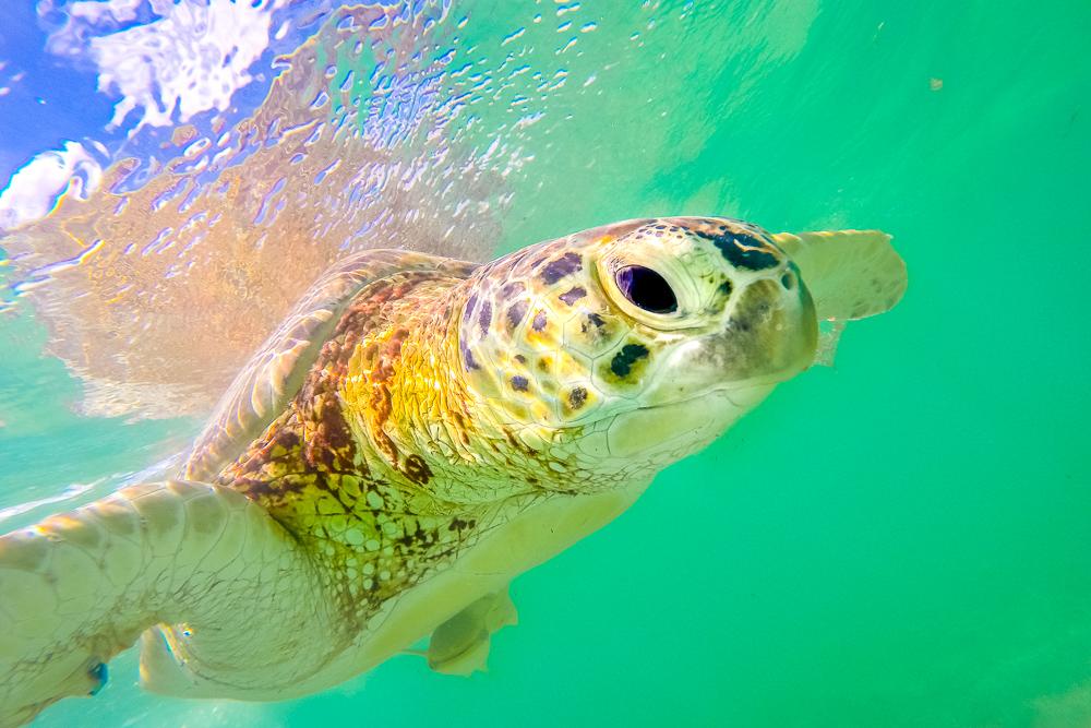 Sea turtle swimming in the green waters of Akumal bay in Mexico's Yucatan Peninsula